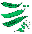 set of hand drawn peas isolated on white vector image