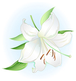 White lily on light blue background vector image vector image