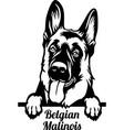 belgian malinois peeking dog - head isolated vector image vector image