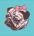 cute muzzle dog pug breed with vector image vector image