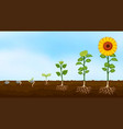 diagram of plant growth stages vector image vector image