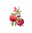 pomegranate fruit branch vector image