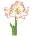Amarillis vector image