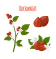 buckwheat plant cereal grains flat style vector image