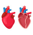 human heart anatomical muscular human pumps blood vector image