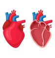human heart anatomical muscular pumps blood vector image
