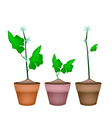 Three Ivy Gourd Plant in Ceramic Flower Pots vector image vector image