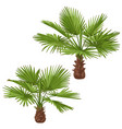 washingtonia palm trees isolated vector image vector image