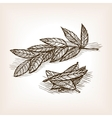 Bay leaves hand drawn sketch style vector image