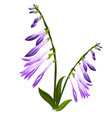 flower bell with blue buds isolated on white vector image vector image