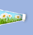 Green grass lawn with white chamomiles and ripped vector image vector image