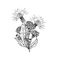 dandelion botanical black ink sketch bouqet vector image vector image