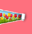 Green grass lawn with tulips and ripped paper vector image vector image