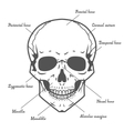 Skull anatomy at white background vector image vector image