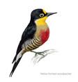 yellow fronted woodpecker vector image