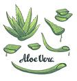 Aloe vera hand drawn set vector image