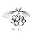 hand drawn of firethorn berries fruits on white ba vector image vector image