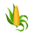 corn isolated ripe corn ear yellow corn cob vector image