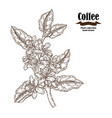hand drawn coffee branch with flowers and leaves vector image