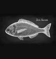 chalk sketch of gilt-head sea bream fish vector image vector image