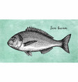 ink sketch of gilt-head sea bream vector image vector image