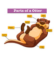 Diagram showing parts of otter vector image vector image