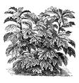 Ornamental nightshade S Warscewiczii or Solanum vector image vector image