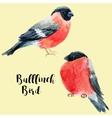 Watercolor hand drawn bullfinch vector image