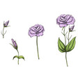 hand drawn eustoma garden flowers and leaves vector image vector image