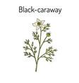 black caraway nigella sativa medicinal plant vector image vector image