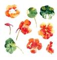 Collection of watercolor nasturtium flowers vector image vector image