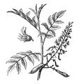 Peru Balsam vintage engraving vector image vector image