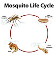 diagram showing life cycle mosquito vector image vector image