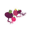different beetroot varieties fresh vegetable vector image vector image