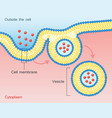 endocytosis vesicle transport cell membrane vector image vector image