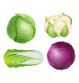 cabbage vegetarian fresh healthy food nature vector image vector image