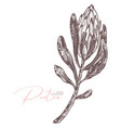 sketch drawing protea botanical vector image