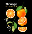 collection of oranges vector image