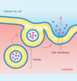 exocytosis vesicle transport cell membrane vector image