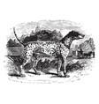 dalmatian vintage vector image vector image