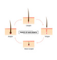 hair growth phases infographics trichology and vector image