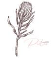 sketch protea flower botanical drawing vector image