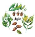 watercolor jojoba plant vector image vector image