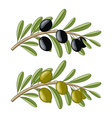 Two olive branches with black and green fruits vector image vector image