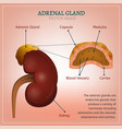 adrenal gland image vector image