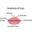 anatomy of lips vector image vector image