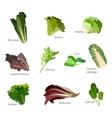 Set of salad greens Leafy vegetables salad icons vector image