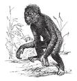 Orangutan vintage engraving vector image vector image