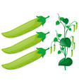 green pea plant on white background vector image