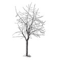 silver maple after severe heading back vintage vector image vector image